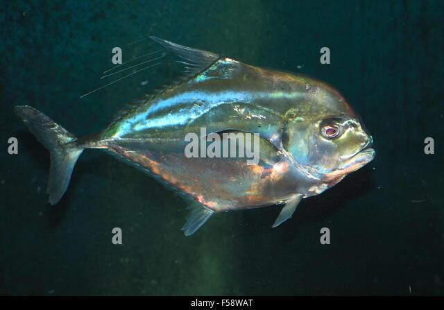 African pompano stock photos african pompano stock for Florida pompano fish
