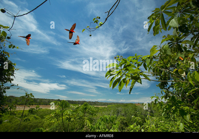 Scarlet Macaws in flight over the Amazon jungle Peru - Stock-Bilder