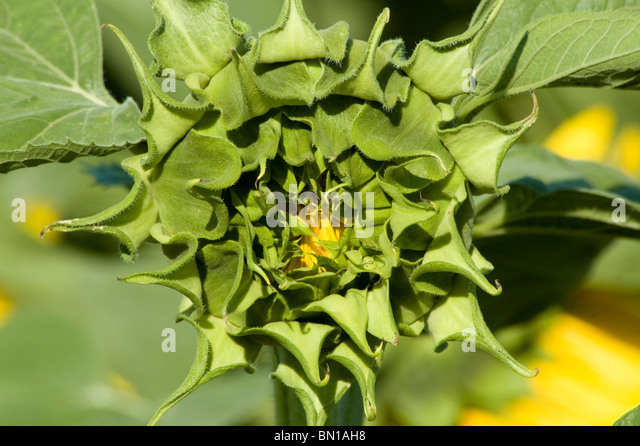 Closed sunflower stock photos amp closed sunflower stock images alamy