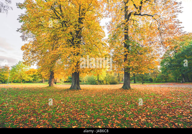 Yellow autumn leaves on colorful autumn trees in a park in the fall with autumn leaves covering the ground in october - Stock Image