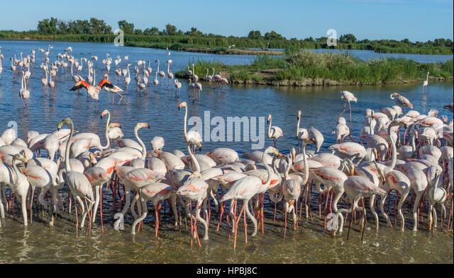 American  Flamingos, (Phoenicopterus ruber),  Parc Ornithologique du Pont de Gau, Camargue, France , Europe - Stock-Bilder