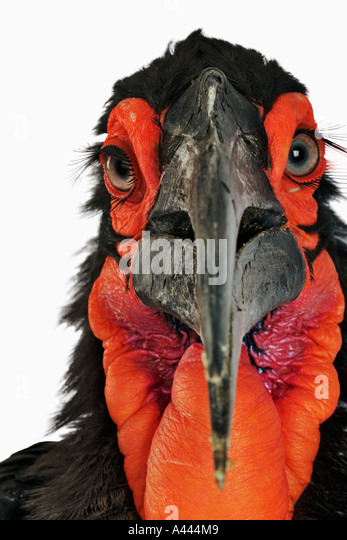 Ground Hornbill Bucorvus leadbeateri Largest of Hornbills and are primarily terrestrial. Feed mainly on insects. - Stock-Bilder