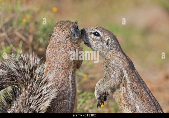 Ground squirrel grooms its mate, Mountain Zebra National Park, Eastern Cape Province, South Africa - Stock Image