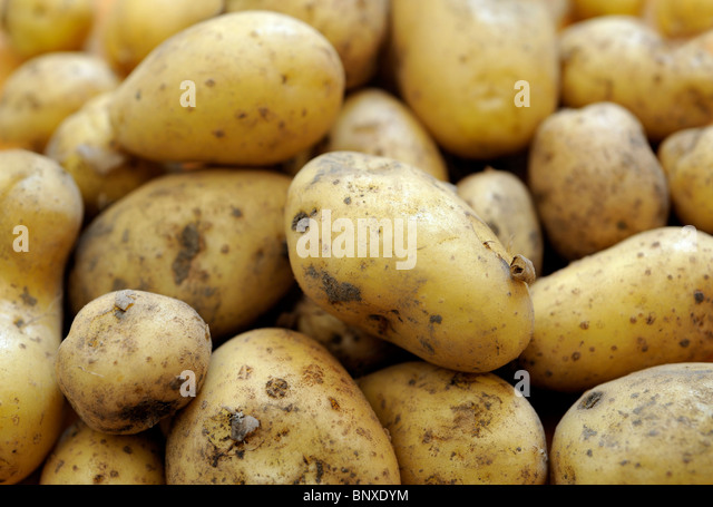 FRESH CHARLOTTE POTATOES - Stock Image