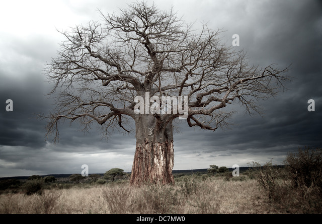 Baobab tree with bark removed from lower trunk by elephants. Tarangire national park. Tanzania - Stock Image