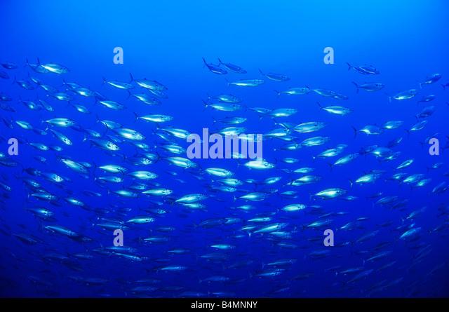 Skipjack tuna school of tunas Katsuwonus pelamis - Stock Image