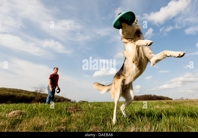 Alsatian dog catching frisbee - Stock Image
