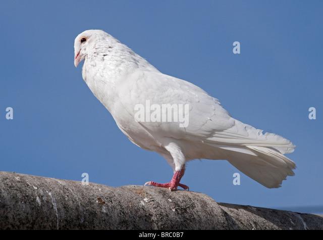 White Dove (columba) - Stock Image