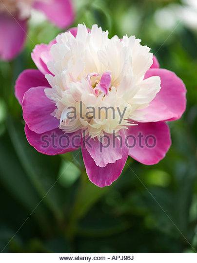 Paeonia lactiflora 'Gay Paree' - Peony - Stock Image