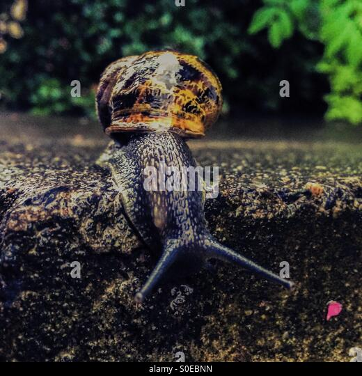 Snail going over the edge of a step. - Stock Image