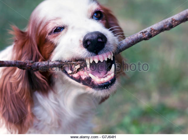 Angry white dog chewing a stick and showing teeth - Stock Image