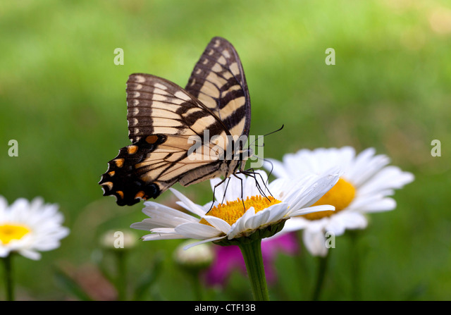 Eastern Tiger Swallowtail (Papillo glaucus) butterfly - USA - Stock Image