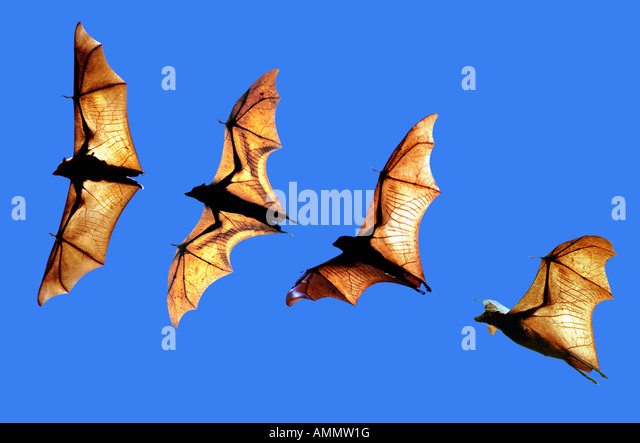 Roussette d Indonesie pteropus vampyrus Large Flying Foxes Borneo Indonesia Asia Indonesia adult animal animals - Stock-Bilder