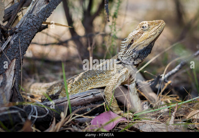 Eastern Bearded Dragon (Pogona barbata) - Stock-Bilder
