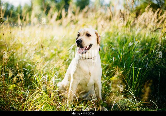 White Labrador Retriever Dog Sitting In Grass, Forest Park Background. - Stock Image