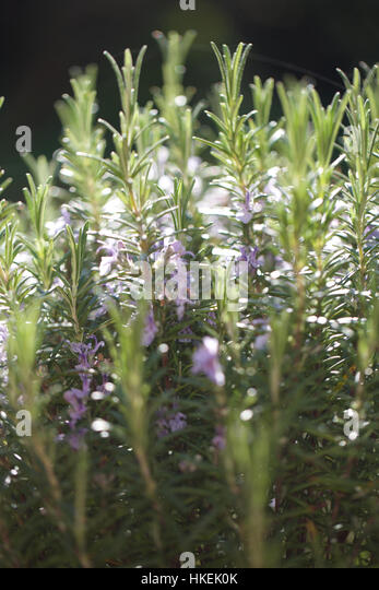 close up of rosemary herbs. spice, organic, leaves, fragrance. - Stock-Bilder