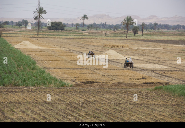 Egypt, Luxor. Typical view of everyday life during grain harvest in Luxor. - Stock-Bilder