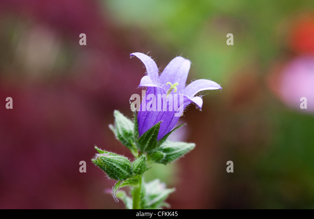 Campanula trachelium. Nettle leaved bellflower. - Stock Image