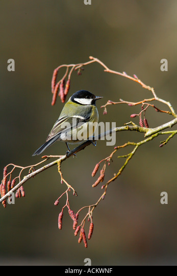 GREAT TIT on Alder branch with Catkins - Stock Image