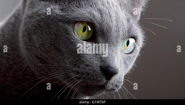 Russian Blue Cat Portrait - Stock-Bilder
