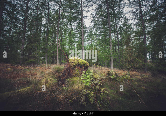 Forest in autumn with green moss on a tree trunk - Stock Image