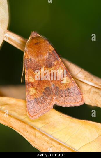 Flounced Chestnut moth (Agrochola helvola) adult moth resting amongst leaves. Powys, Wales. September. - Stock Image