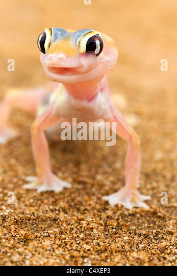 Web-footed Gecko (Palmatogecko  rangei). Nocturnal animals that live mostly nestled in deep burrows. - Stock-Bilder