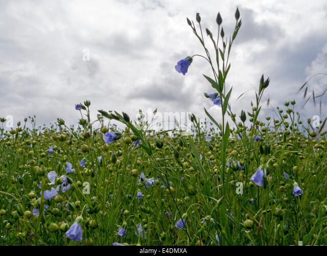 Field of flax (common flax or linseed - Linum usitatissimum), growing beneath the South Downs near Bignor, Sussex, - Stock Image