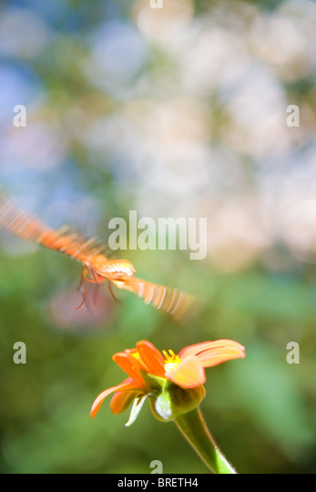 butterfly in flight over a zinnia flower, orange, petal, wing motion movement blur moving wing span landing energy - Stock-Bilder