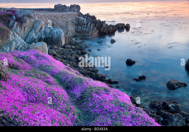 Purple ice plant blossoms and ocean. Pacific Grove, California - Stock Image