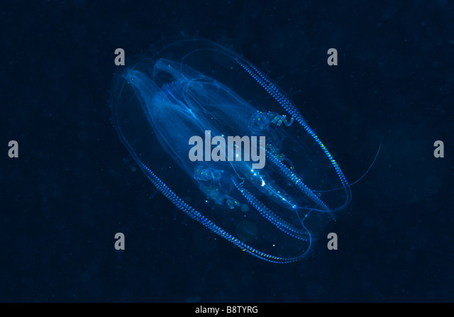 Comb Jellyfish Tentaculata Marsa Alam Red Sea Egypt - Stock Image