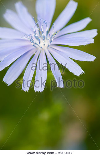 Cichorium Intybus Electric Blue Chicory - Stock Image