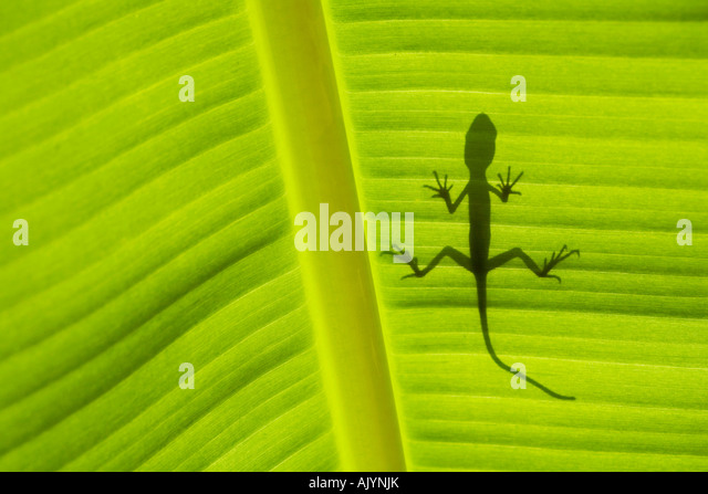 Lizard shadow on banana leaf - Stock-Bilder