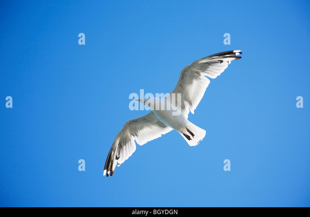 Seagull soaring - Stock Image
