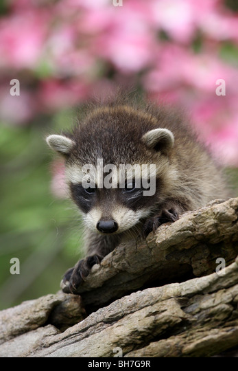 raccoon baby log flower dogwood - Stock Image