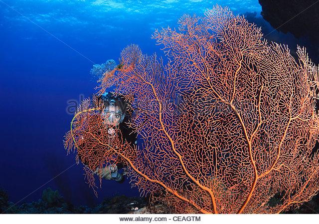 Gorgonian Sea Fan (Anella Mollis), Great Barrier Reef - Stock Image
