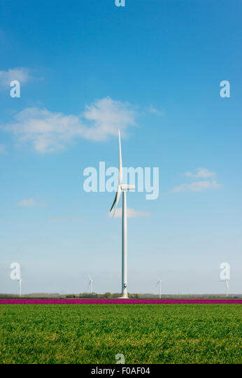 Magenta flower blooms and wind turbine, Zeewolde, Flevoland, Netherlands - Stock Image