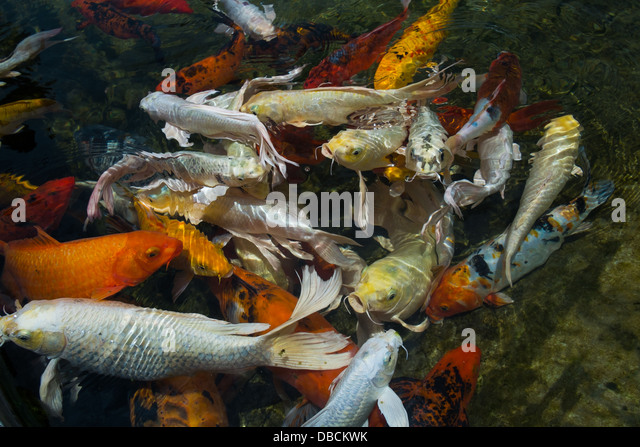 Koi fish pond lake water japan stock photos koi fish for Koi fish in water