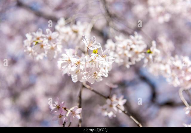Weeping Cherry blossom,Rikugien Garden,Bunkyo-Ku,Tokyo,Japan - Stock Image