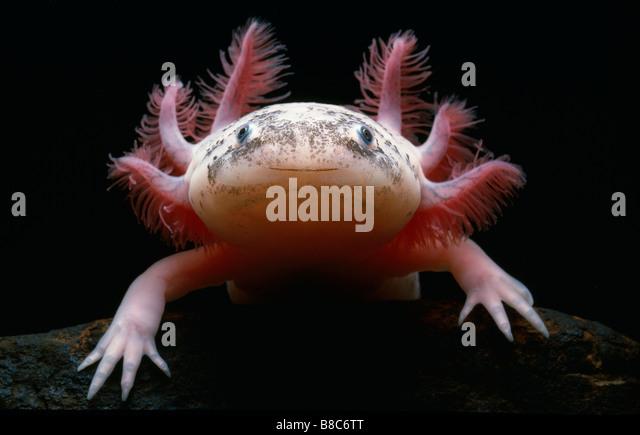 mexican-axolotl-b8c6tt.jpg
