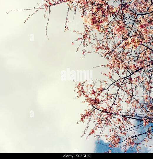 Pink blossom and sky - Stock Image