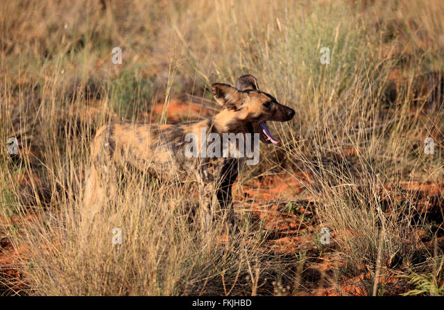 Pictus Stock Photos Amp Pictus Stock Images Alamy