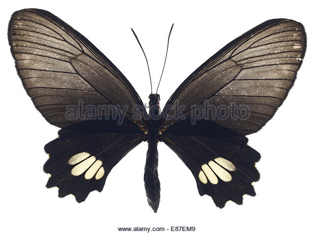 Black Butterfly with open wings on white background - Stock Image
