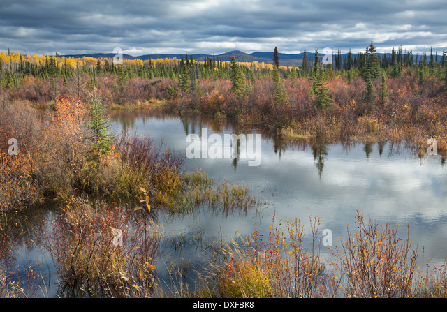 Autumn colours in the boreal forest on the Silver Trail near Mayo, Yukon Territories, Canada - Stock Image