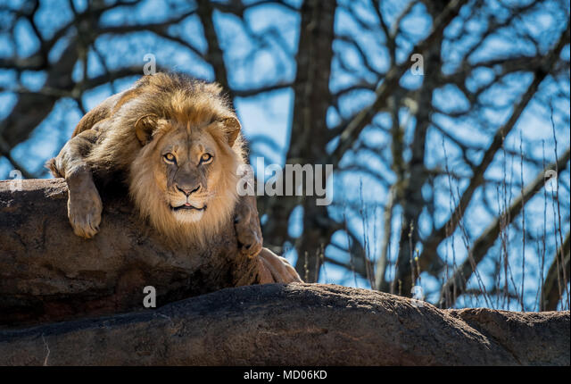 Curious Lion On Rock stares toward camera - Stock Image
