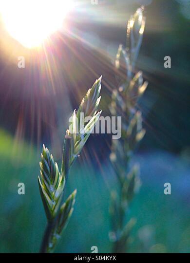 Grass seeds - Stock Image