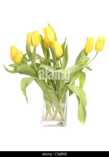 Yellow tulips in a vase studio cutout - Stock Image