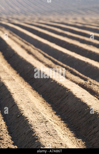 Potato drills East Linton, East Lothian, Scotland - Stock Image