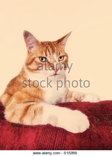 Cat Portrait, Ginger Tabby, Leo - Stock-Bilder