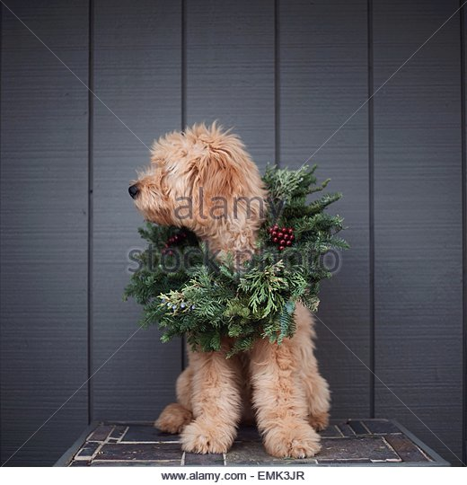 Dog sitting in Christmas wreath - Stock Image